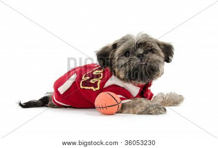 Shih Tzu Puppy With Football