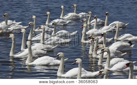 Group Of Swans Swimming