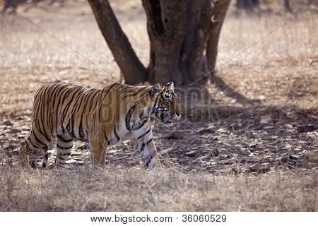 The stalking tigress