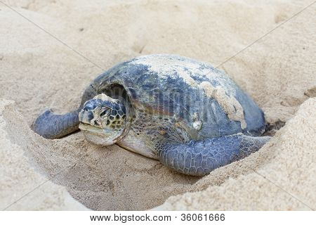 Green turtle laying her eggs on the beach