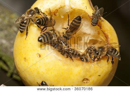 Las abejas y pera