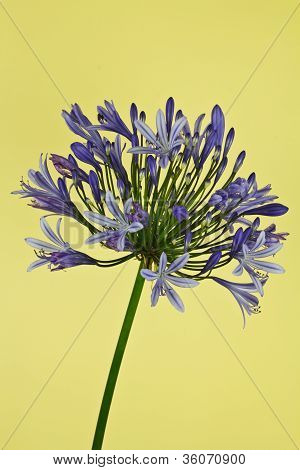 African Lily (agapanthus)