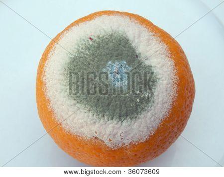 Mouldy Orange