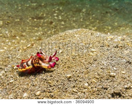 Flamboyant Cuttlefish.