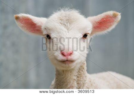 Young Baby Lamb