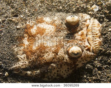 Stargazer fish.