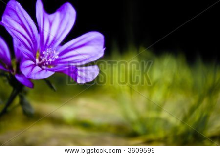 Purple Mallow Closeup