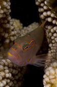 stock photo of hawkfish  - Ringeye Hawkfish  - JPG