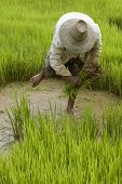 Work On The Paddy-Field In Asia poster