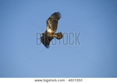 Young Bald Eagel In Flight