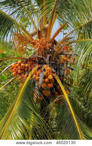 Coconut palm or coconut tree