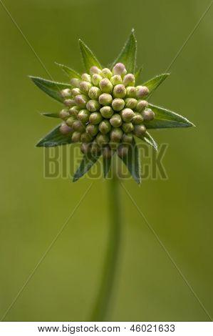 Mpeloprasum Commutatum Liliacee  Green Background