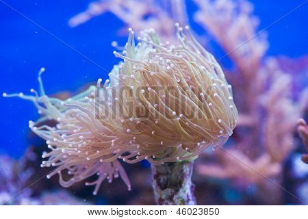 Euphyllia Glabrescens