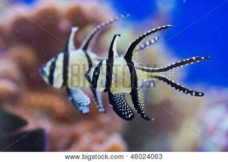 Pterapogon