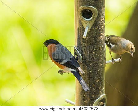 Bullfinch : Pyrrhula , On A Bird Feeder