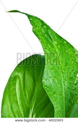 Green Leafs #9