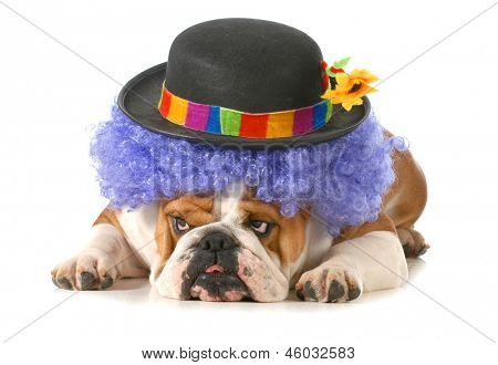 funny dog - english bulldog dressed up like a clown isolated on white background