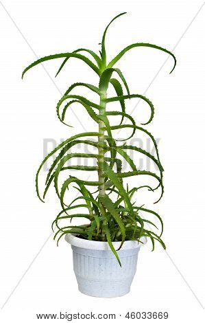 aloe houseplant