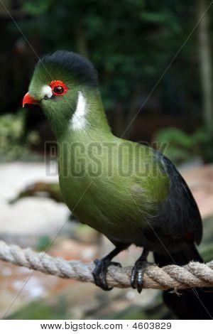 Rare Turaco Bird