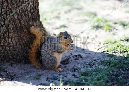 Squirrel Eating A Cashew