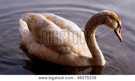 Little Swan    Black   In The River