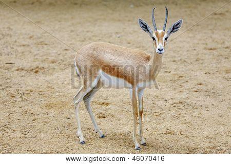 Small Gazelle