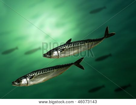 Salmon In Water