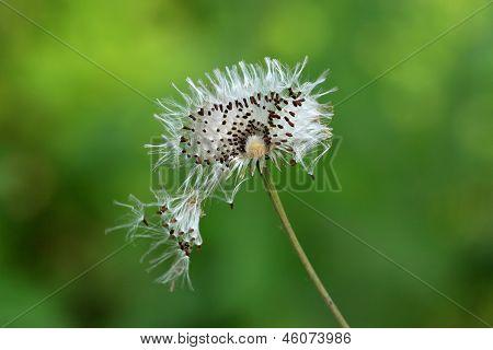 Compositae Seeds