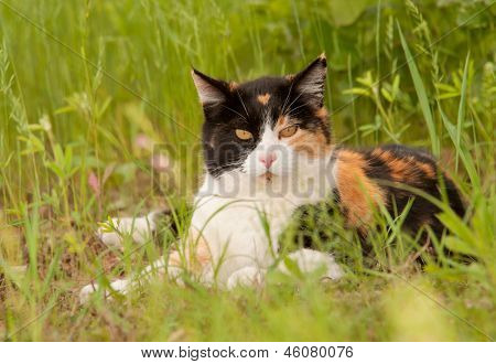 Beautiful calico cat resting in spring grass, looking at the viewer