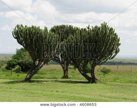 Candelabra Euphorbia