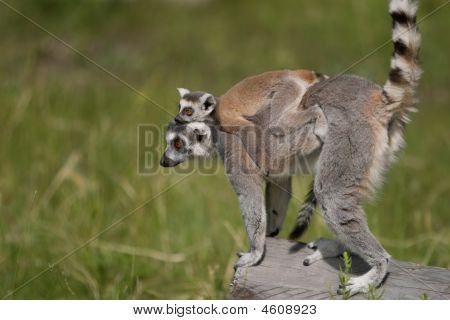 Lemur Carrying Baby