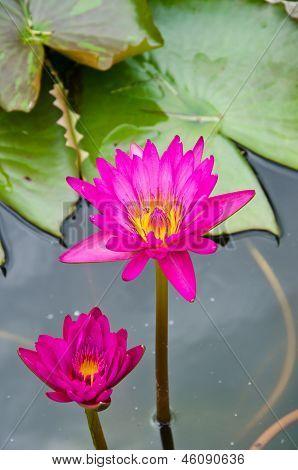 Two Pink lotus.
