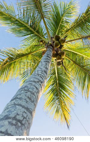 coconut tree with fruits on blue sky