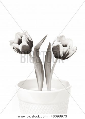 Two Spring Tulips
