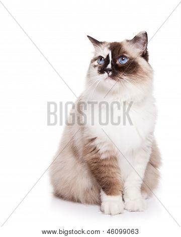 Ragdoll Cat on White