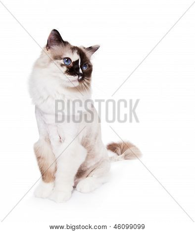 Ragdoll Cat haircut