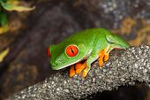 pic of red eye tree frog  - Red Eyed Tree Frog in a rain - JPG