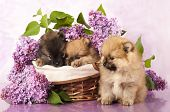 foto of miniature pomeranian spitz puppy  - spitz puppy and flowers  lilac - JPG