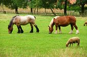 Horses And Sheep.