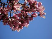 picture of saucer magnolia  - A branch of bright pink magnolia flowers against a clear blue sky - JPG