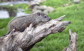 image of groundhog  - Young woodchuck, or groundhog profiled on piece of dried timber.  Springtime in Wisconsin. ** Note: Slight graininess, best at smaller sizes - JPG