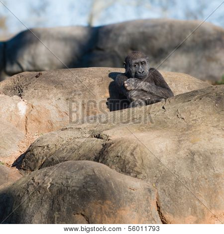Young, lonely gorilla sitting on top of rocks