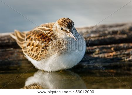 Sandpiper Standing In The Waters Of Jamaica Bay Wildlife Refuge, Ny