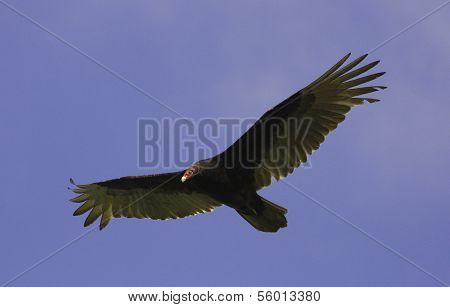 Turkey Vulture (cathartes Aura) Flying In Blue Sky