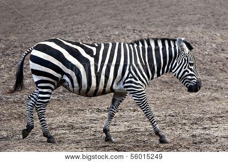 Grant's Zebra (Equus burchelli boehmi)
