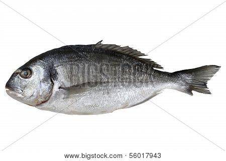 Frischfisch Goldbrasse isoliert