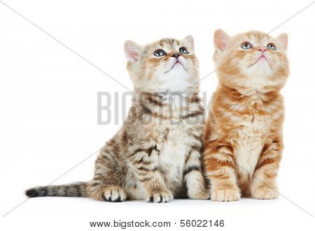 two british shorthair grey kitten cat isolated