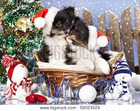 christmas puppies Sheltie wearing a santa hat