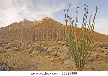 Ocotillo In The Desert Twilight