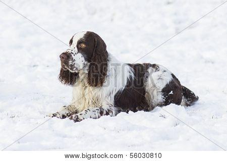 Springer Spaniel Hund liegend auf dem Schnee